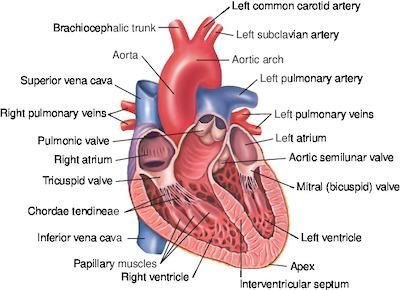 heart   taber's medical dictionary, Cephalic Vein